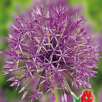 "Allium ""Purple Rain"""