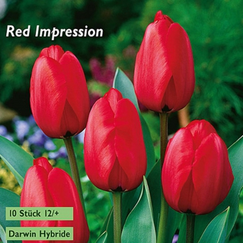 "Darwin-Hybrid-Tulpen ""Red Impression"""